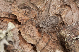 Philodromus fuscomarginatus male · tamsusis vikrūnas ♂