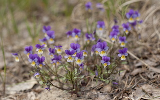 Viola tricolor · trispalvė našlaitė