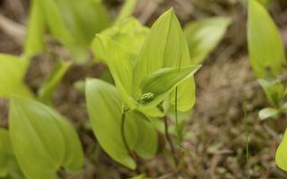 Maianthemum bifolium · dvilapė medutė