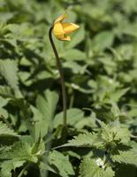 Liliaceae · lelijiniai