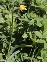Tulipa sylvestris · girinė tulpė