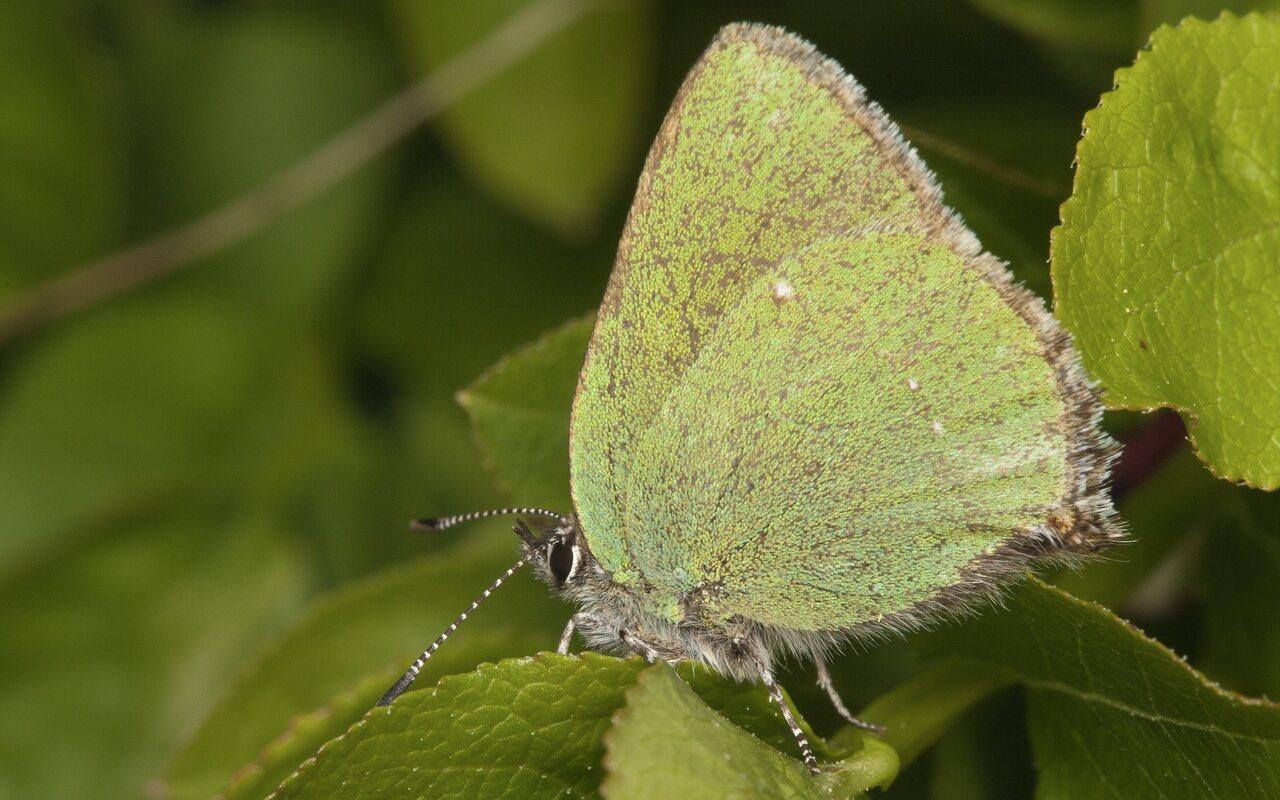 Callophrys-rubi-3969.jpg