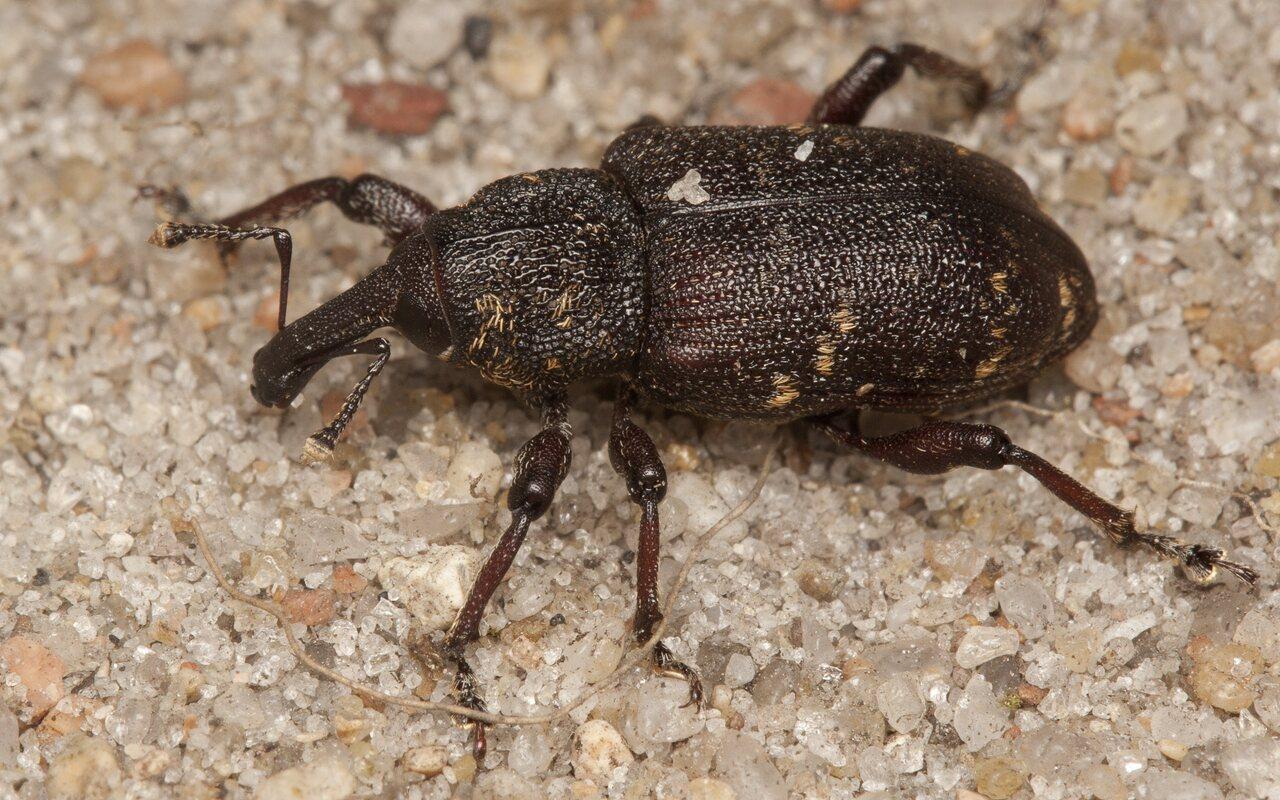 Hylobius-abietis-3972.jpg