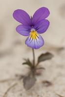 Violaceae · našlaitiniai