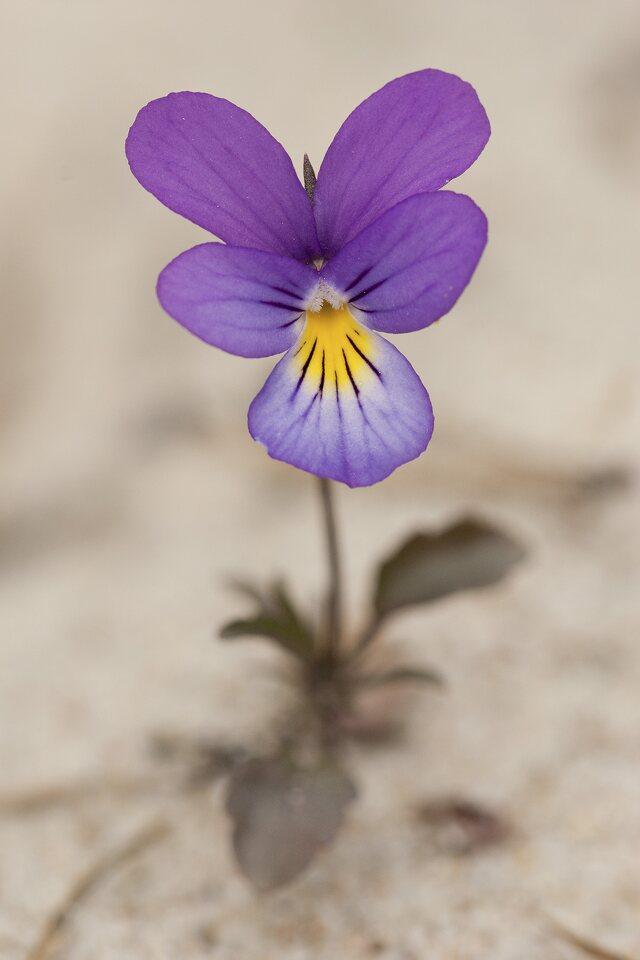 Viola-littoralis-3984.jpg