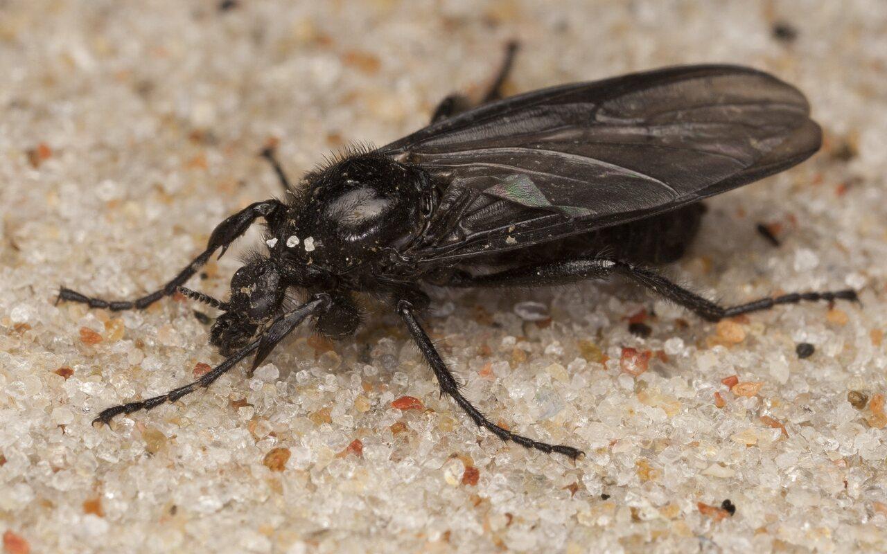 Bibionidae-4004.jpg