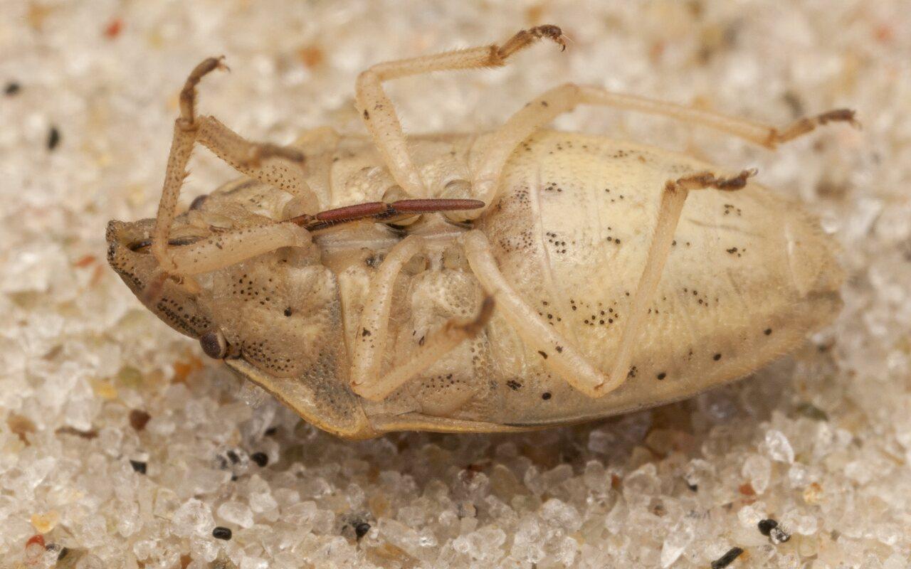 Aelia-acuminata-4017.jpg