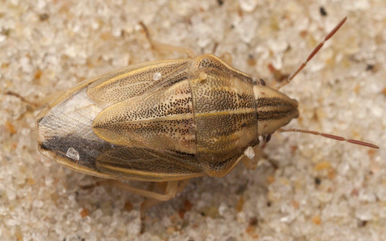 Aelia-acuminata-4020.jpg
