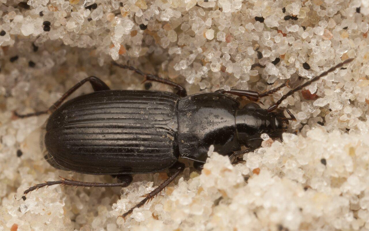Pterostichus-diligens-4028.jpg