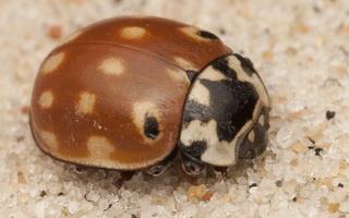 Anatis ocellata · akiuotoji boružė