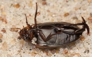 Hydaticus seminiger · samandusė