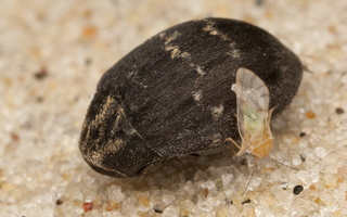 Byrrhus fasciatus · kamuolvabalis