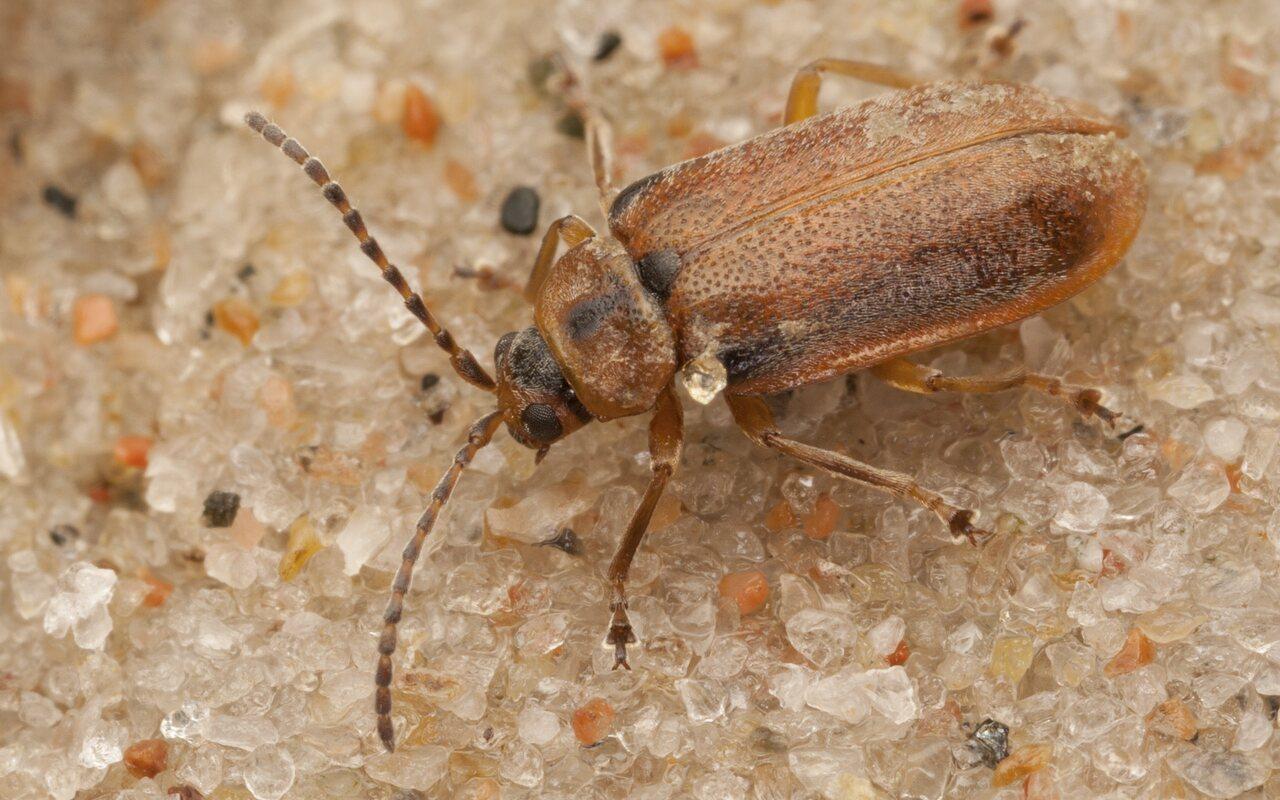 Galerucella-calmariensis-4067.jpg