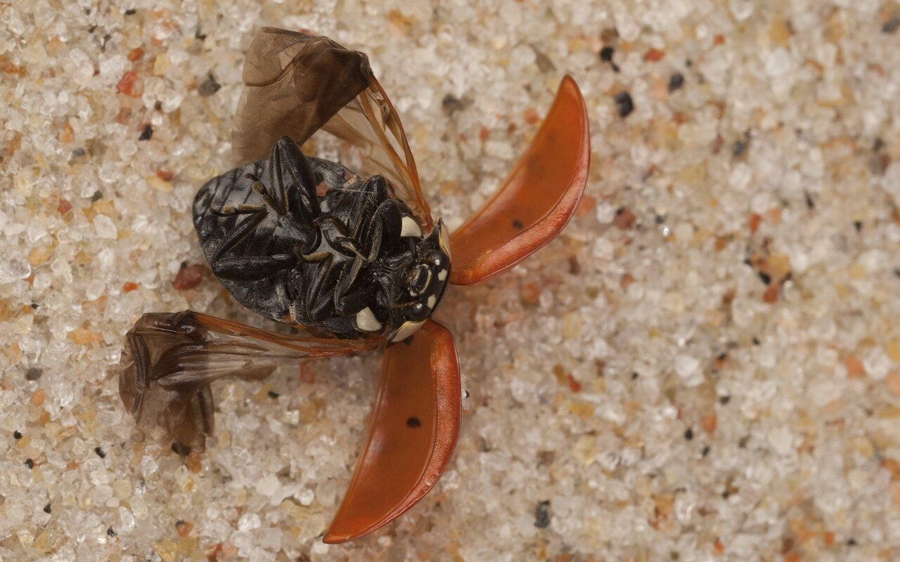 Coccinella-septempunctata-4069.jpg
