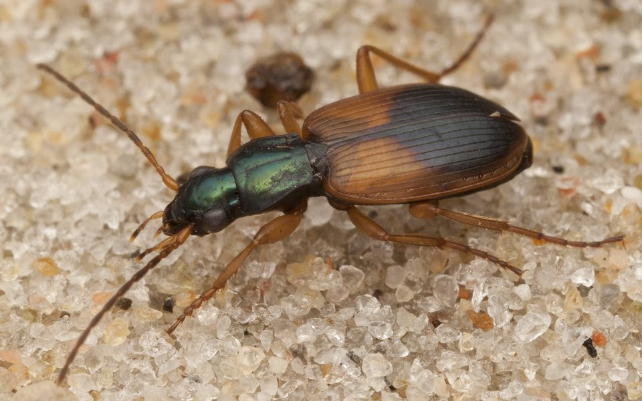 Anchomenus-dorsalis-4073.jpg