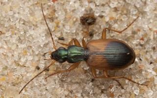 Anchomenus dorsalis · raudonpetis žvitražygis