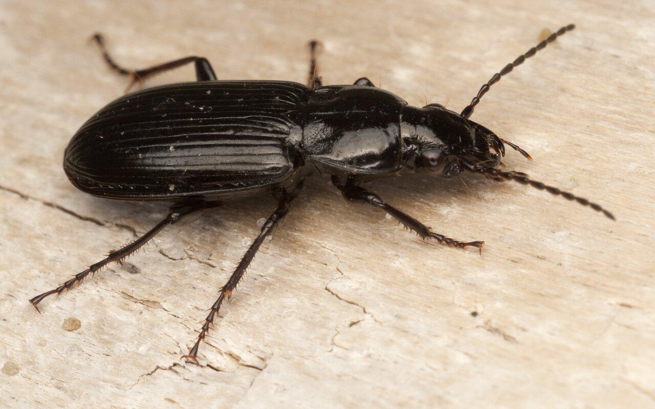 Pterostichus-diligens-4083.jpg