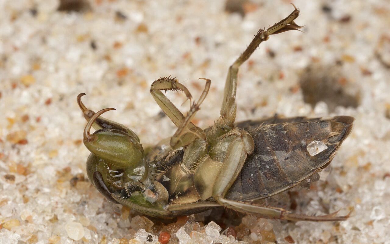 Ilyocoris-cimicoides-4111.jpg