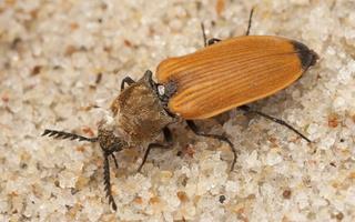 Anostirus castaneus · rudasis pievaspragšis