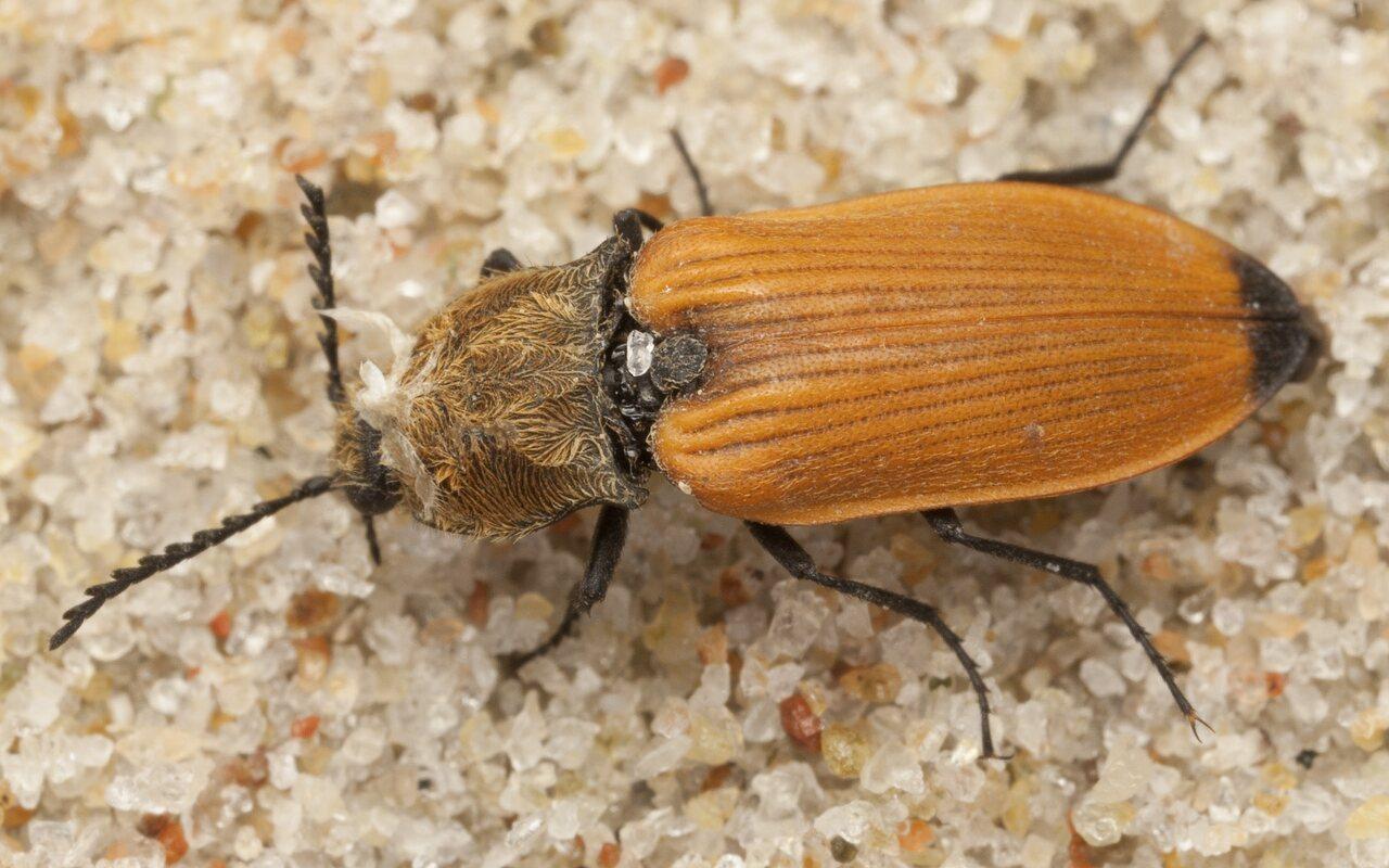 Anostirus-castaneus-4120.jpg