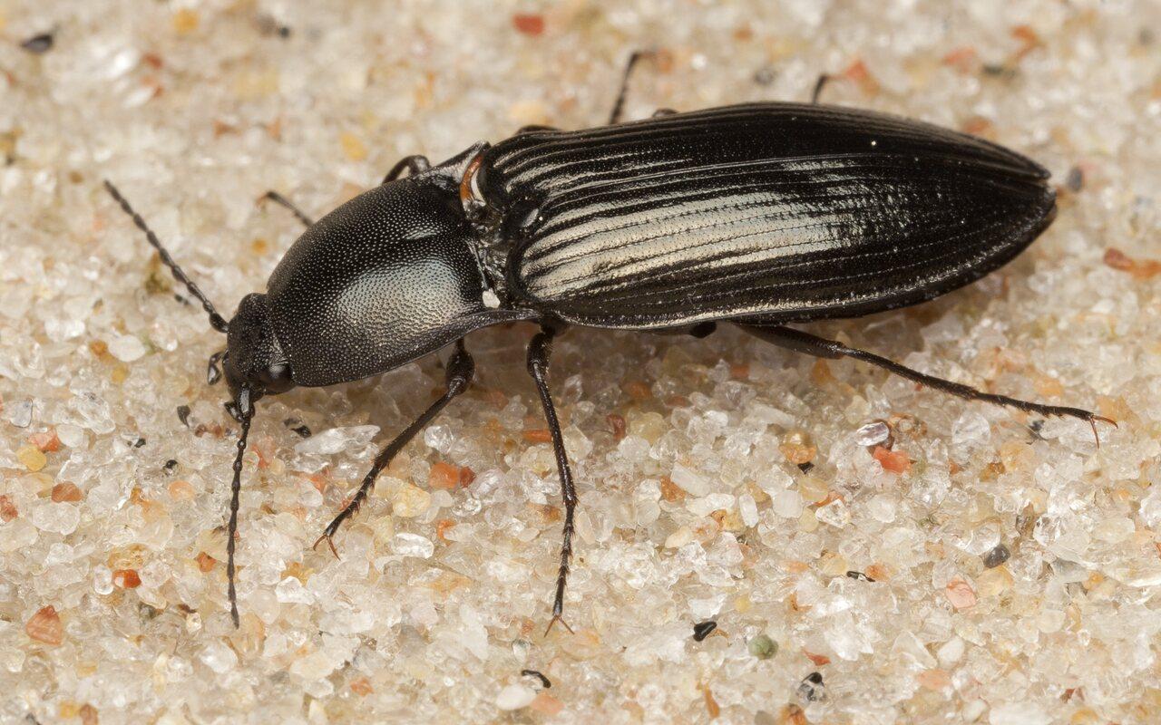 Selatosomus-aeneus-4135.jpg
