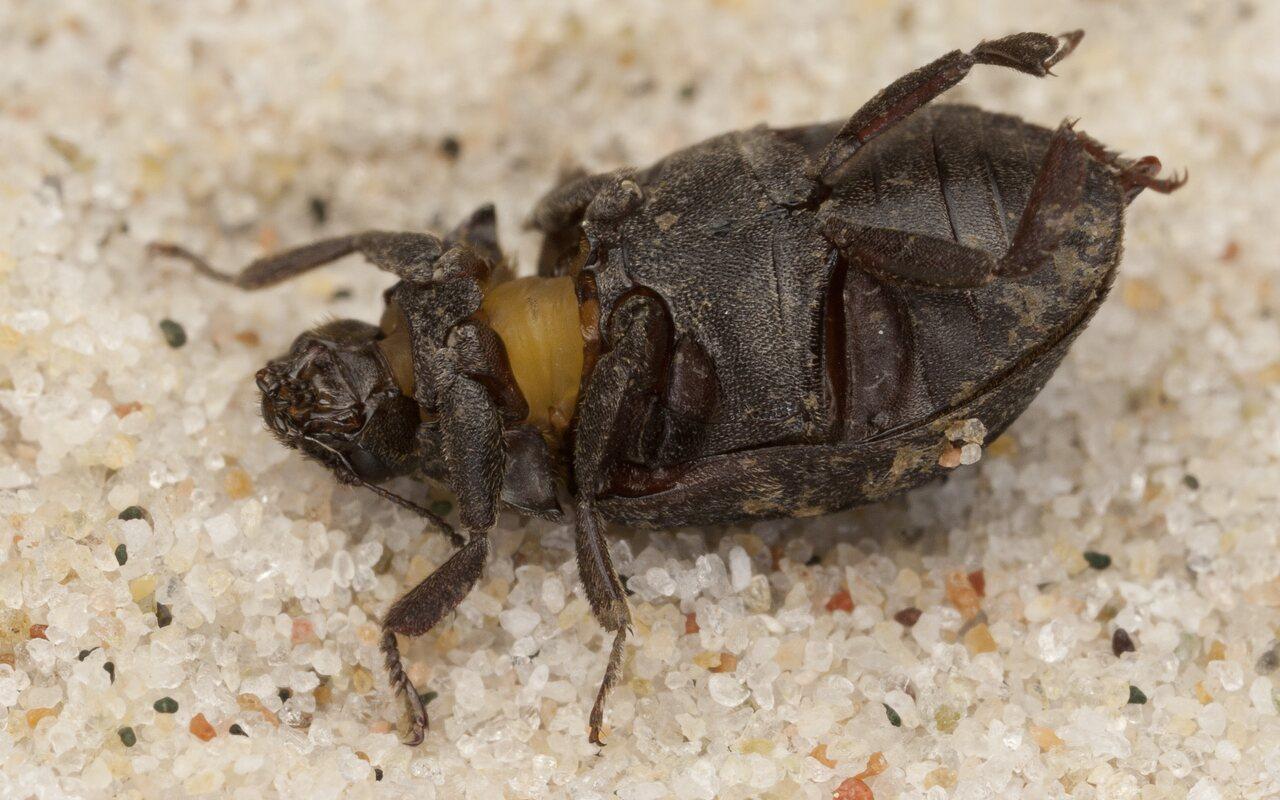 Byrrhus-fasciatus-4146.jpg