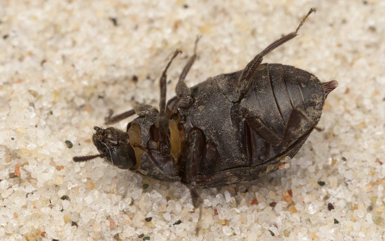 Byrrhus-fasciatus-4147.jpg
