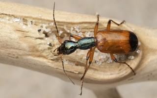 Odacantha melanura · žaliagalvis laibažygis