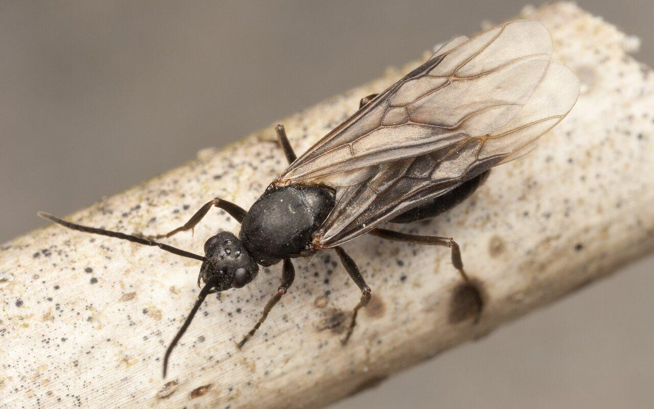 Formicidae-4155.jpg