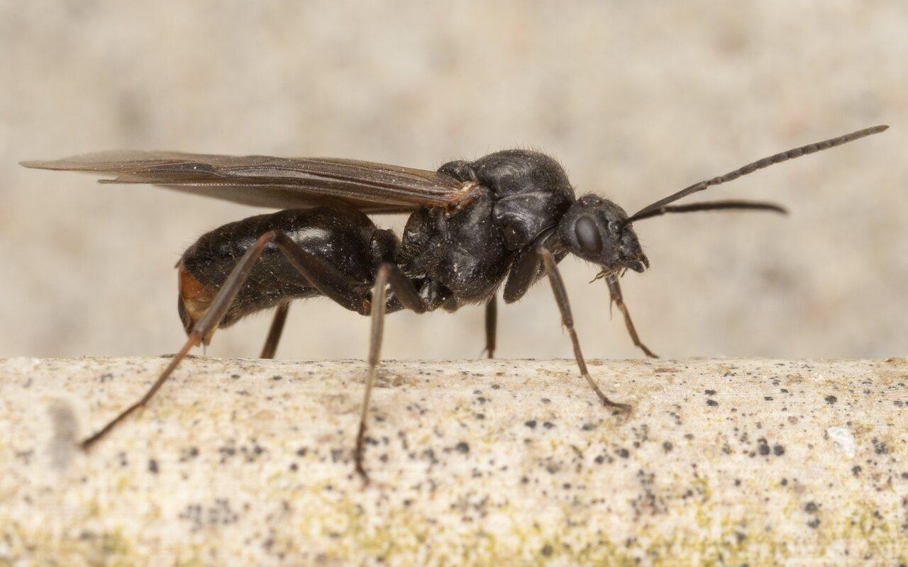 Formicidae-4160.jpg
