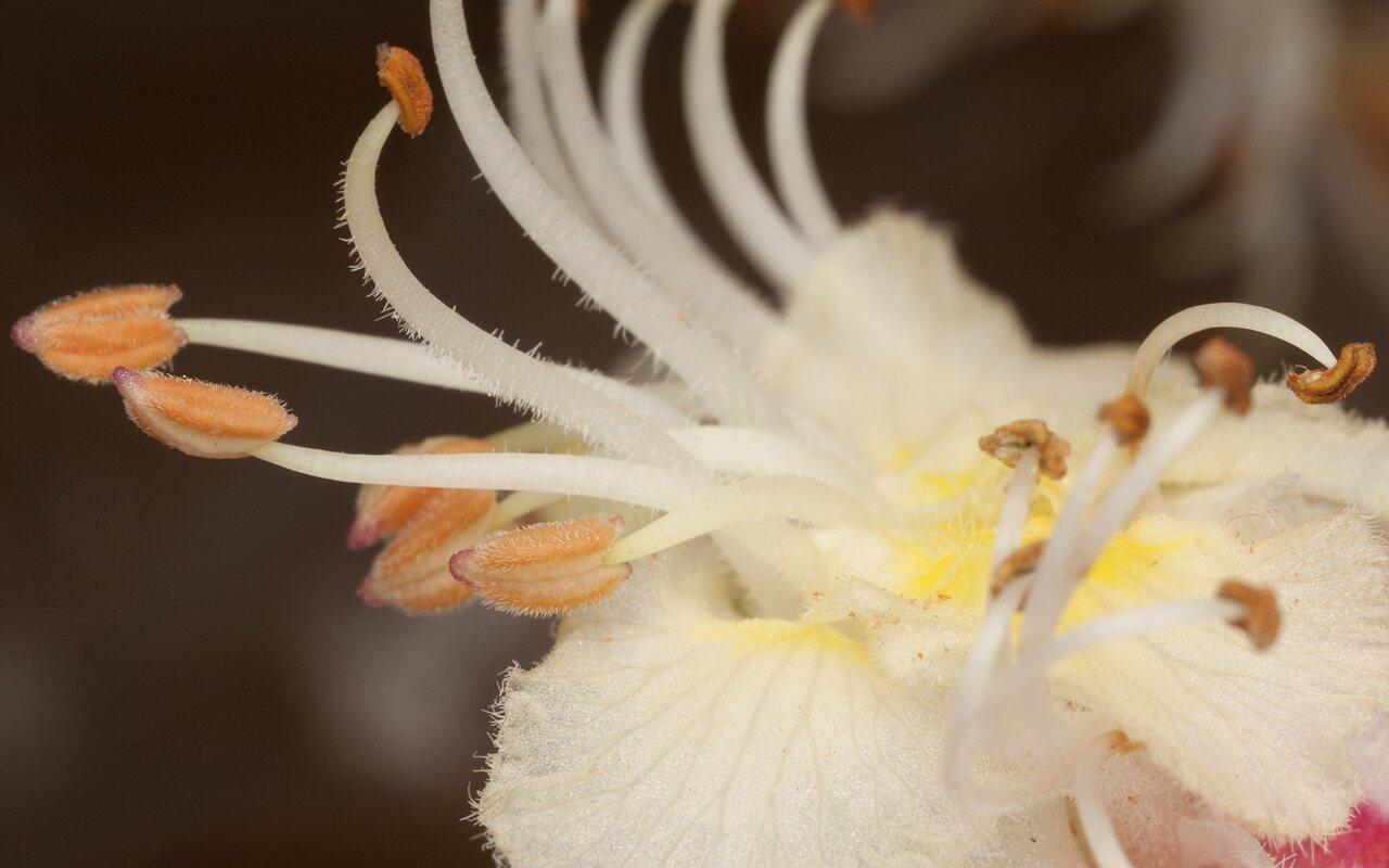 Aesculus-hippocastanum-4164.jpg
