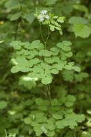Thalictrum aquilegifolium · sinavadlapis vingiris