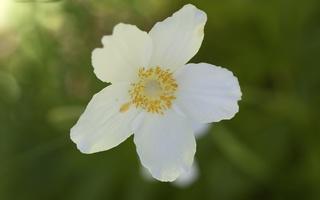 Anemone sylvestris · lieknoji plukė
