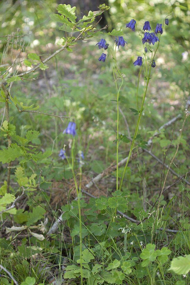 Aquilegia-vulgaris-4193.jpg