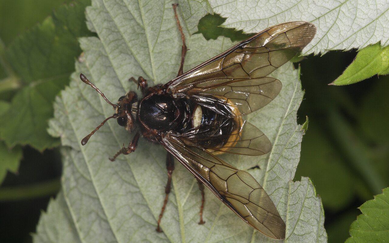Cimbicidae-4208.jpg