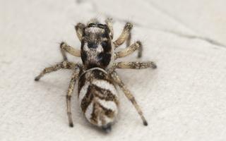 Salticus scenicus female · sieninis šokliavoris ♀