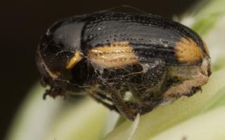 Cryptocephalus moraei · jonažolinis paslėptagalvis