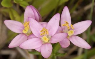 Gentianaceae · gencijoniniai