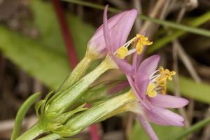 Centaurium pulchellum · gražioji širdažolė