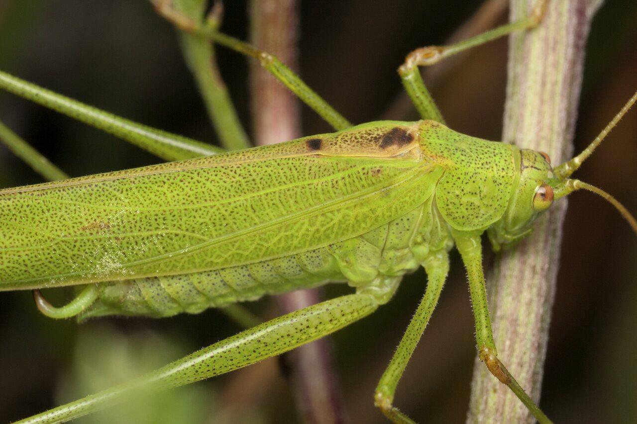 Phaneroptera-falcata-4299.jpg