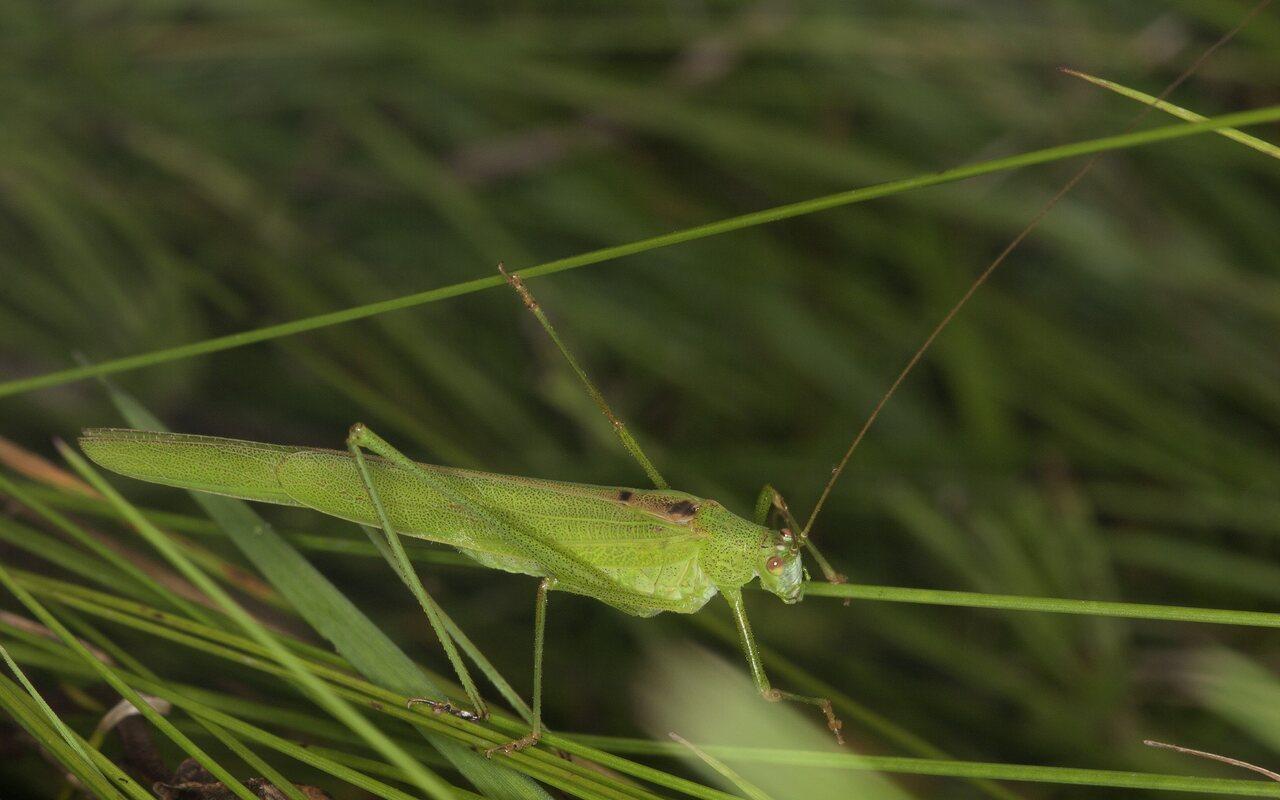Phaneroptera-falcata-4303.jpg