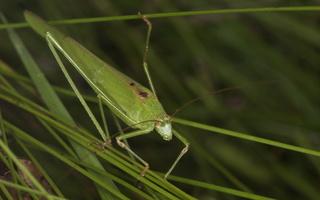 Phaneroptera falcata · lakštasparnis pjūklius