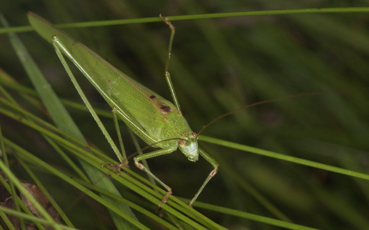 Phaneroptera-falcata-4304.jpg