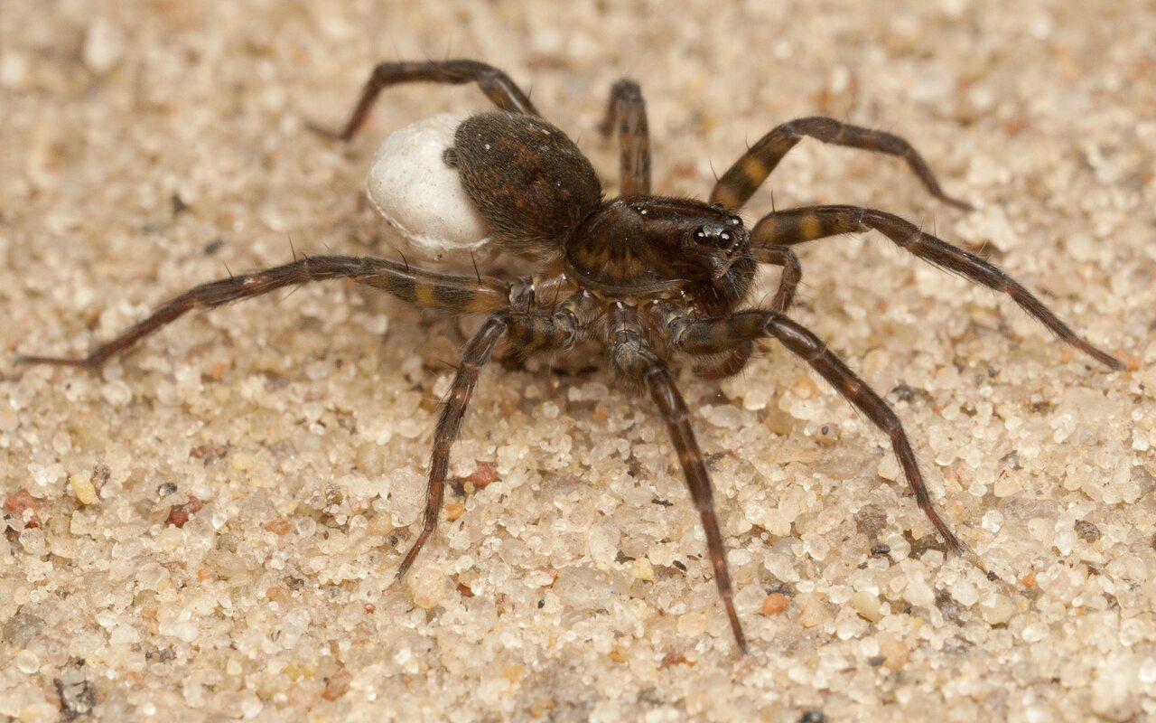 Lycosidae-4322.jpg