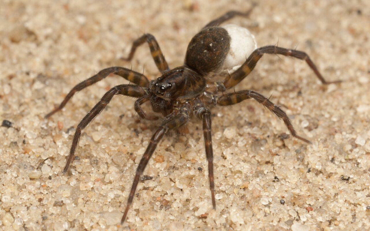 Lycosidae-4323.jpg