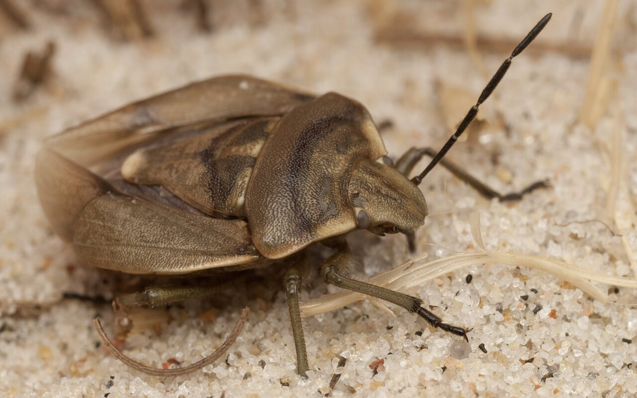 Chlorochroa-pinicola-4331.jpg