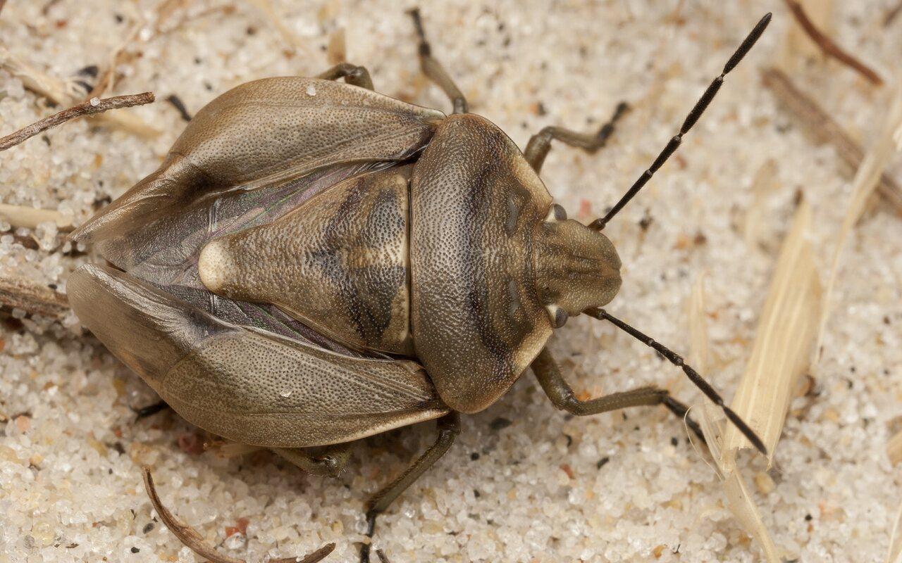 Chlorochroa-pinicola-4334.jpg
