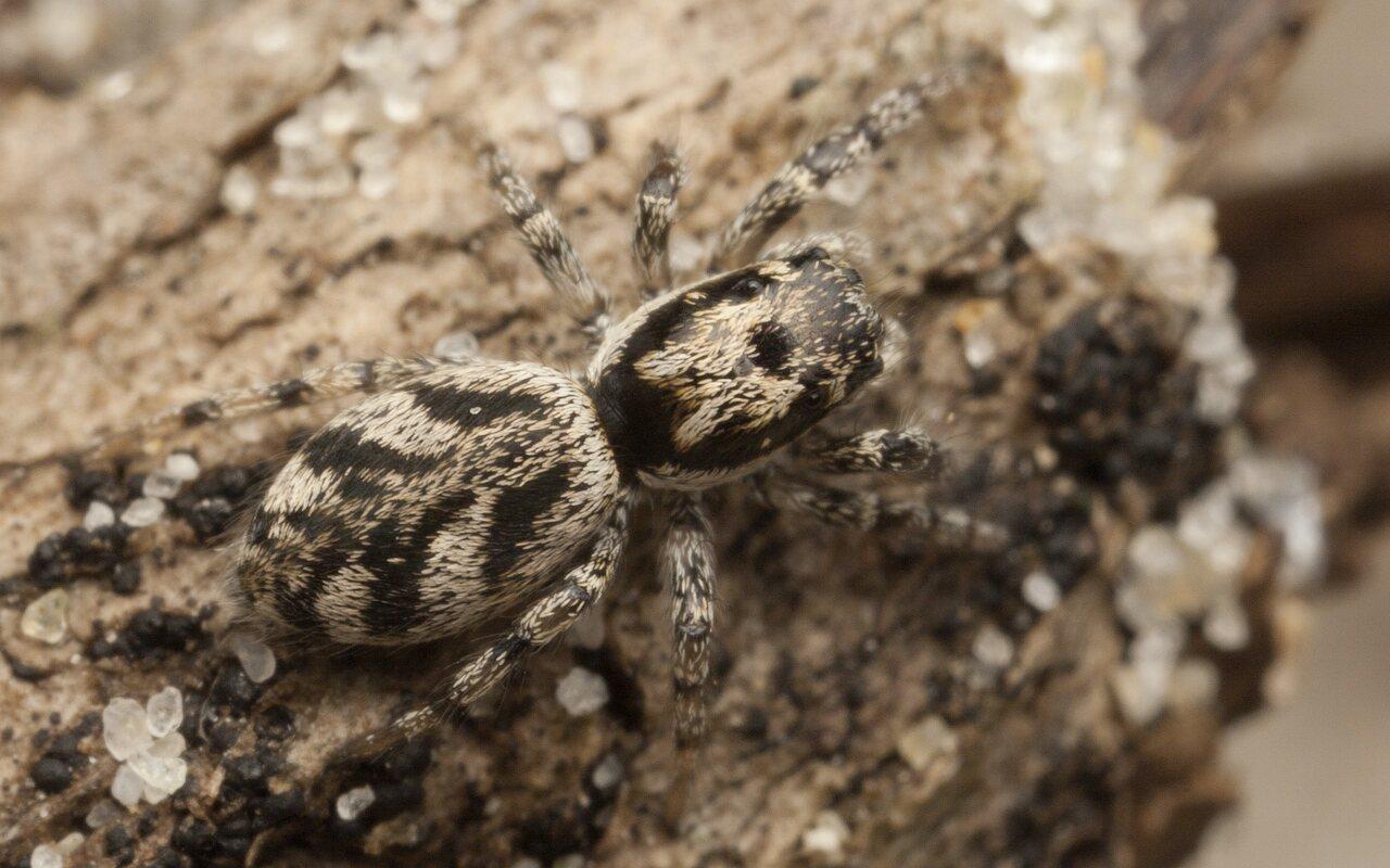 Salticus-cingulatus-4341.jpg