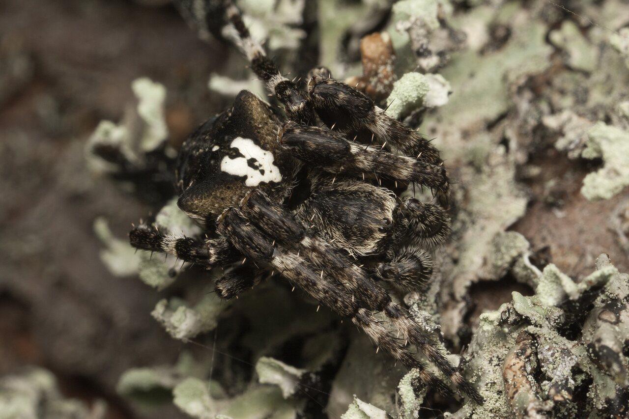 Araneus-angulatus-4347.jpg