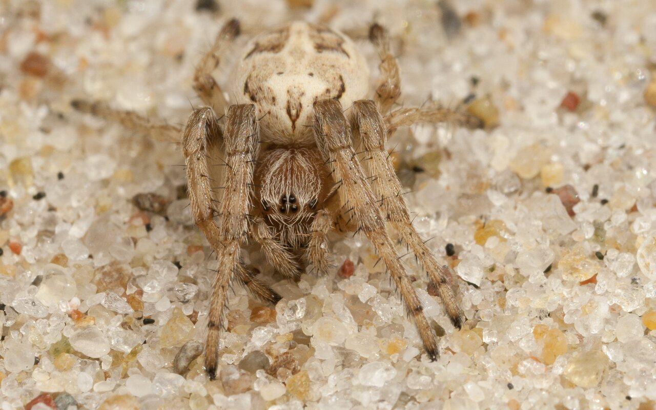 Araneidae-4359.jpg